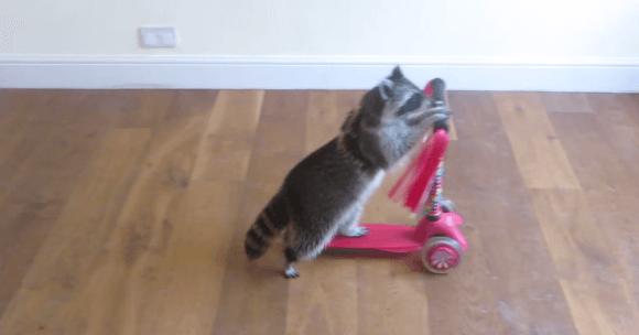 【動画】可愛すぎ!あらいぐまが掃除やキックボードを披露!